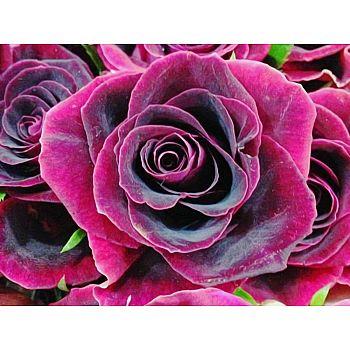Набор для творчества Рыжий кот Холст с красками по номерам Бархатная роза 22*30см
